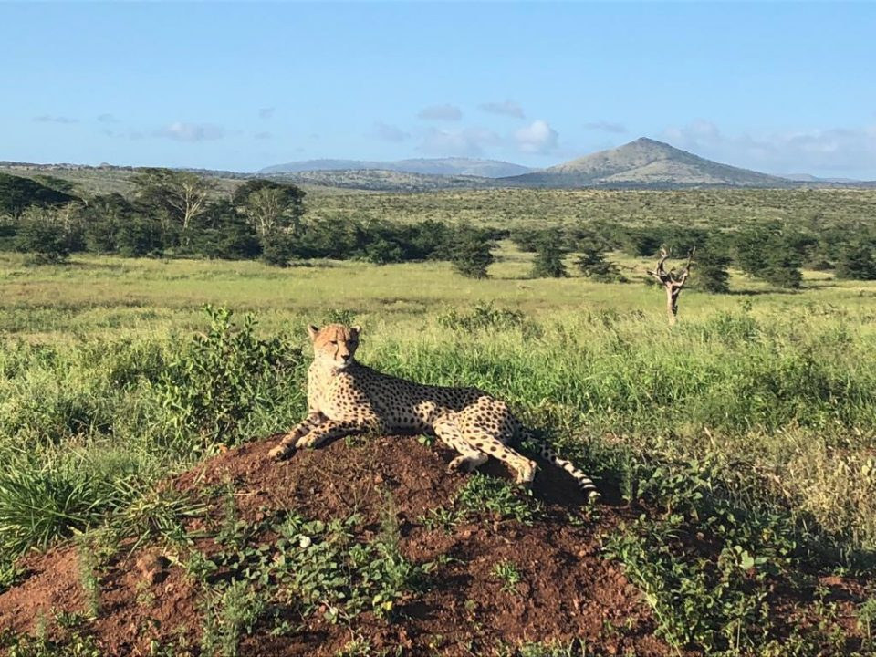 Lone Cheetah spotted at Phinda Mountain Lodge